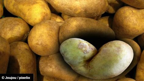 Еврокомиссия одобрила выращивание на территории ЕС генетически модифицированного картофеля Amflora с повышенным содержанием в крахмале […]