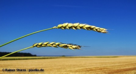 Вслед за Россией решение о сокращение или приостановке экспорта зерна рассматривает также Украина. Сильные морозы зимой и аномальная жара летом этого года привели к тому, что урожая зерновых в этом году может не хватить даже для потребностей внутреннего рынка этих стран. Более того, европейские эксперты не исключают, что Казахстан в ближайшее время также может сократить экспорт зерна за рубеж.
