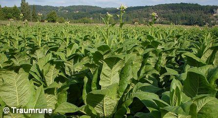 Табачная плантация во Франции